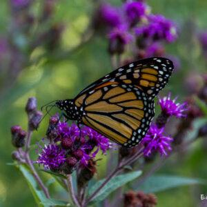 Citizen Science Kit - Monarch Butterflies
