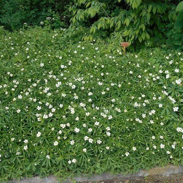 Anemone canadensis-Anemone, Canada