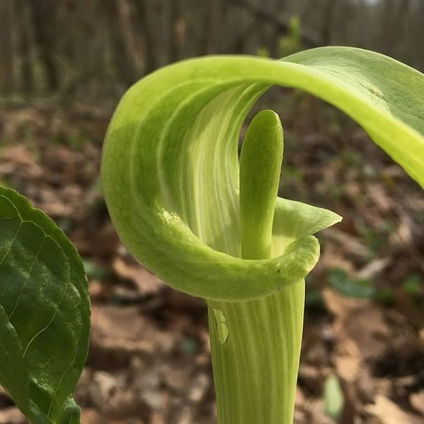 Arisaema triphyllum - JArisaema triphyllum - Jack in the Pulpitack in the Pulpit