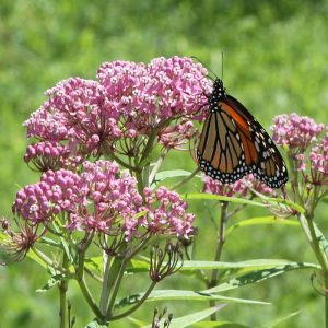 Asclepias incarnata - (Red or Swamp) Marsh Milkweed
