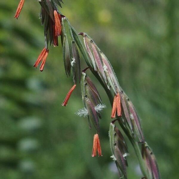 Bouteloua curtipendula - Side Oats Grama Grass