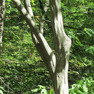 Carpinus carolina - Musclewood
