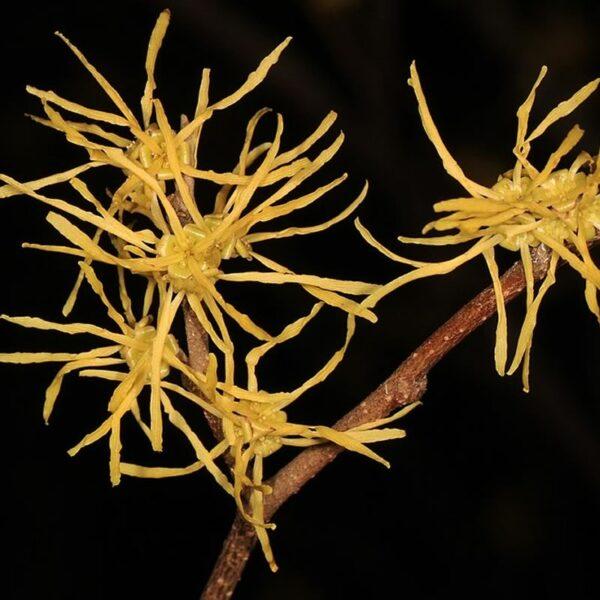 Hamamelis virginiana - Common Witch Hazel