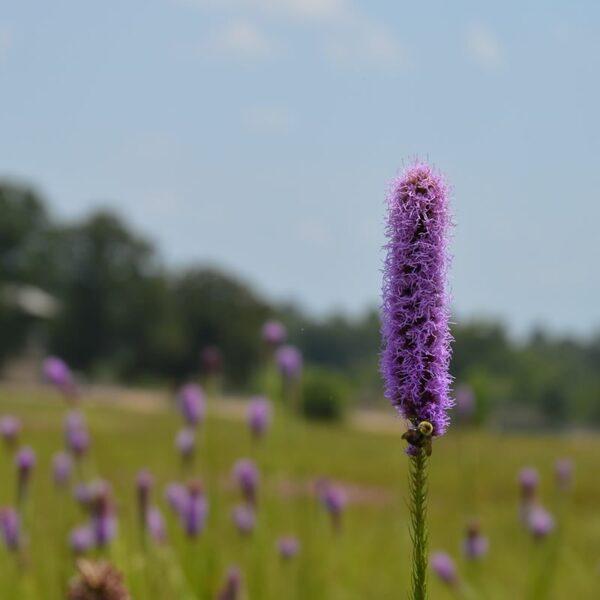 Liatris pycnostachya - Prairie Blazingstar Liatris
