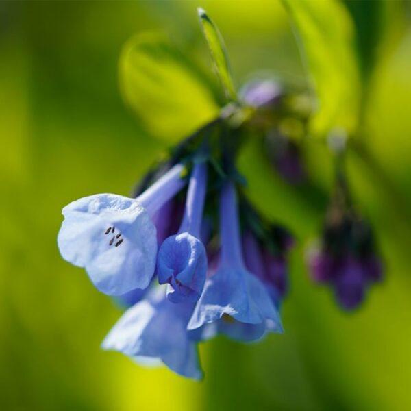 Mertensia virginica - Bluebells