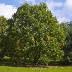 Quercus bicolor - Swamp White Oak