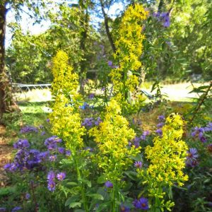 Solidago speciosa-Showy Goldenrod